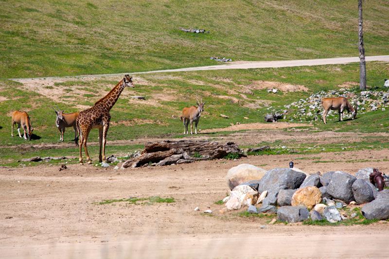 SafariGiraffes